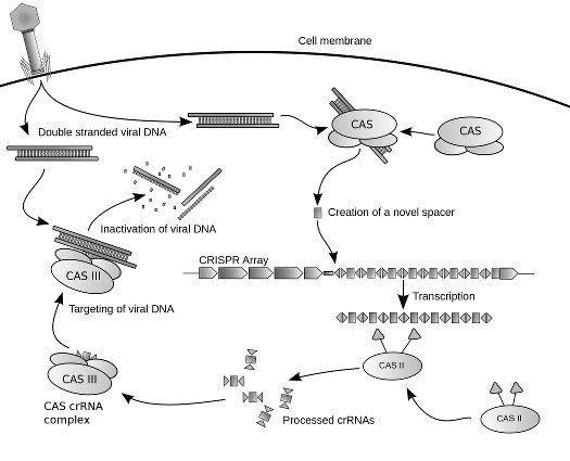 Metodo CRISPR