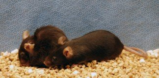 Una nuova terapia estende la vita dei topi del 35%